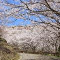 花立公園の桜 日南市