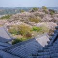 天ヶ城公園の桜 高岡町